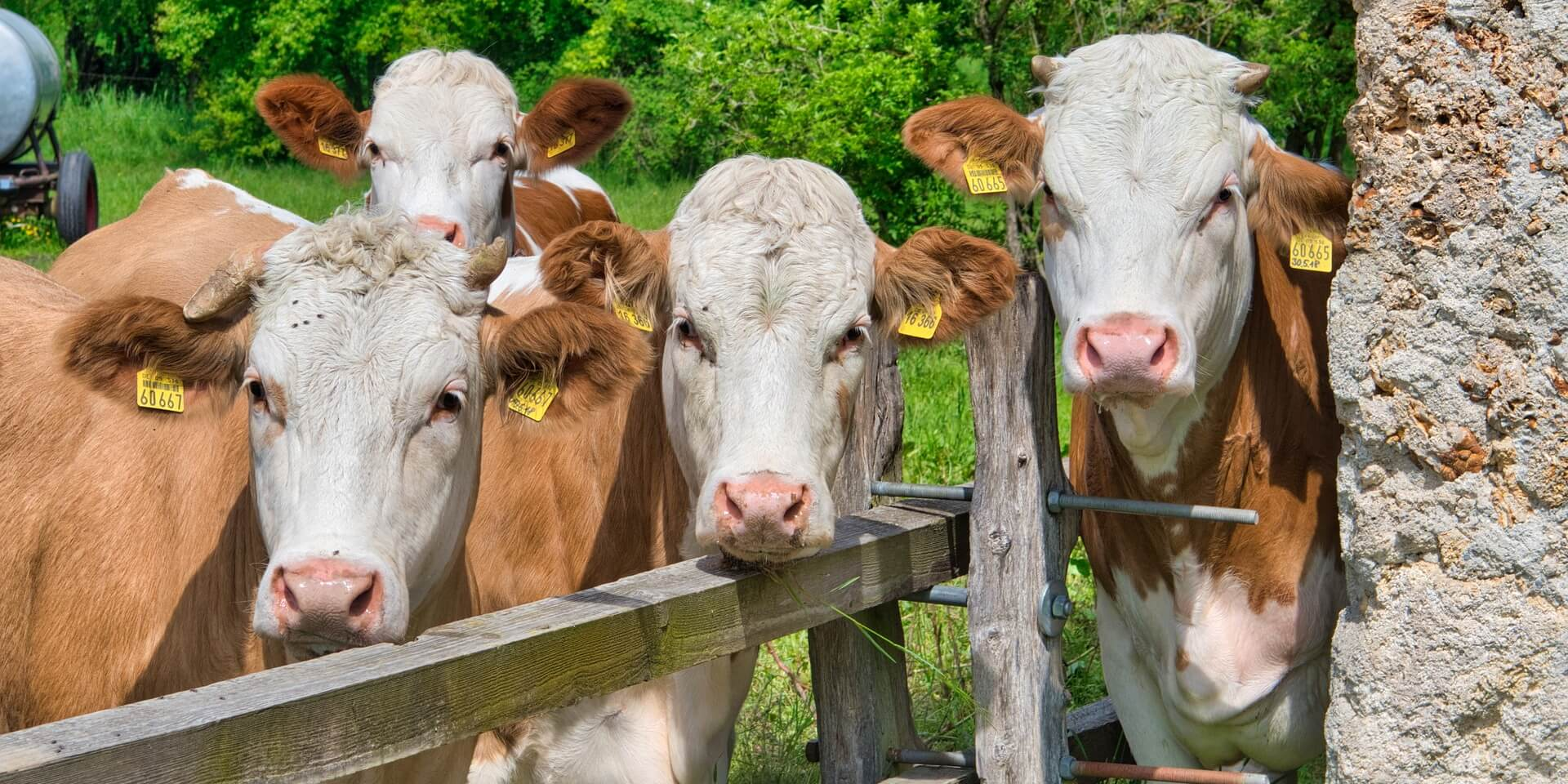 Cheapest Cow RFID